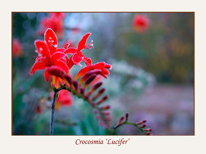 Crocosmia 'Lucifer' - Garden perennials