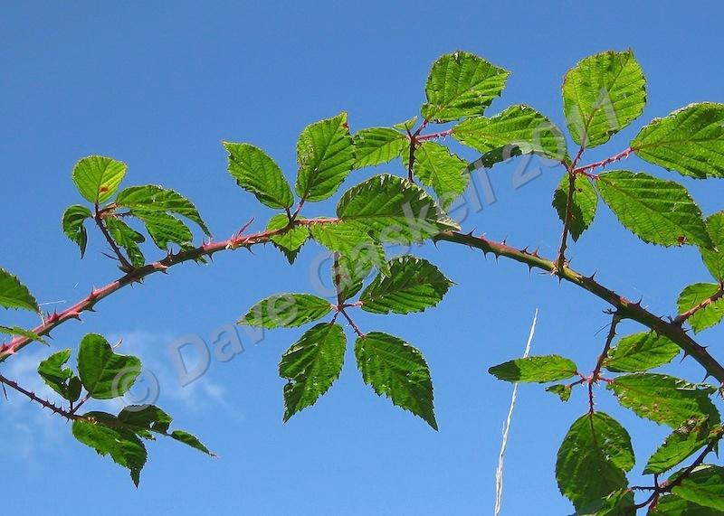 Bramble Branch, IMG_0973 - Nature & Wildlife