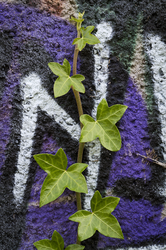 Ivy Reclaim Its Wall - Worcester Birmingham Canal