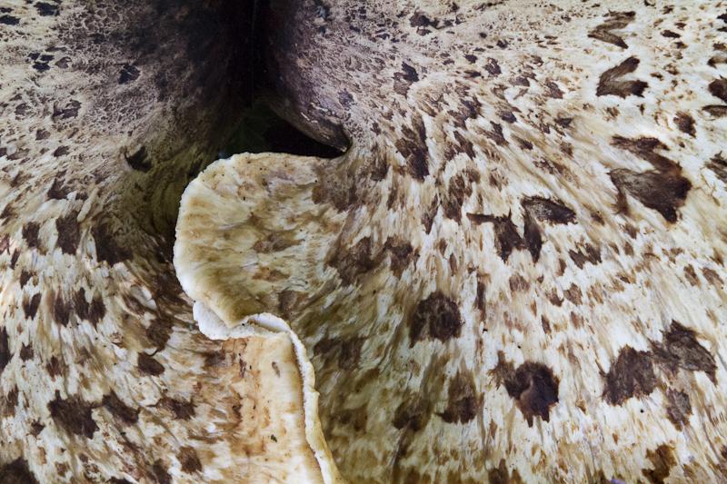 Bracket Fungus 2 - Worcester Birmingham Canal