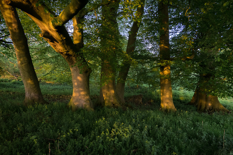 Day 26 - Beech Trunks - On Bredon Hill - 2016