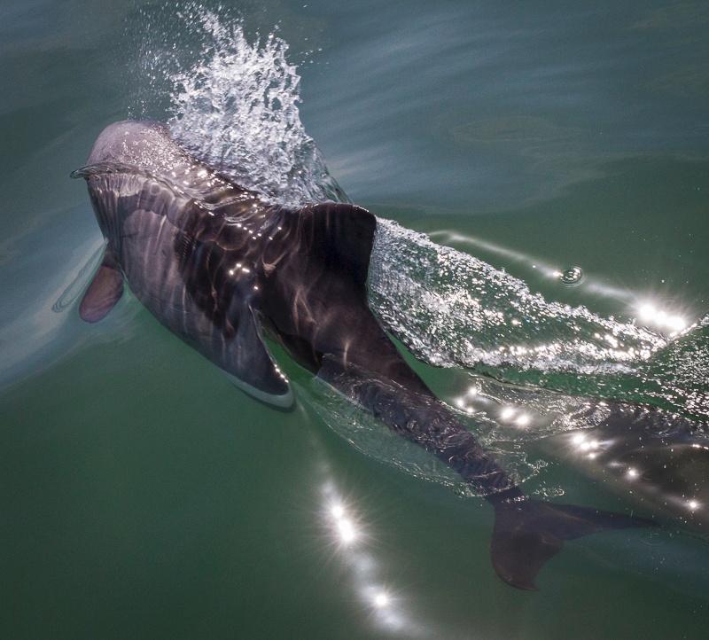 Dolphin - Namibia - 2014