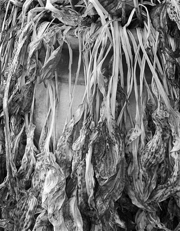 1675 - Hosta Pot 5 - Trees & Plants