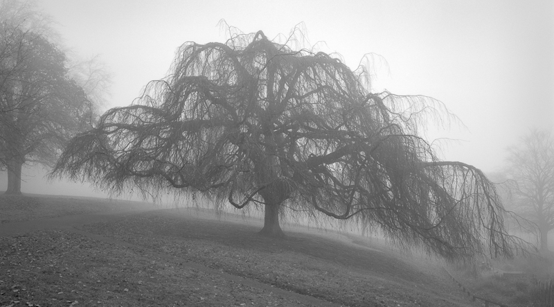 2431 - Weeping Beech in Fog - Trees & Plants