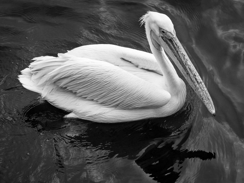 Great White Pelican - Namibia - 2014