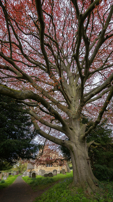 Day 23 - St Barbara's Copper Beech - On Bredon Hill - 2016