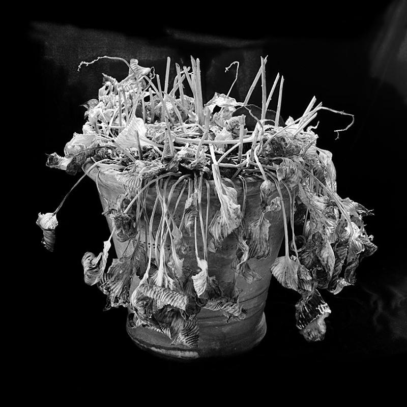 1183 - Hosta Pot 2 - Trees & Plants