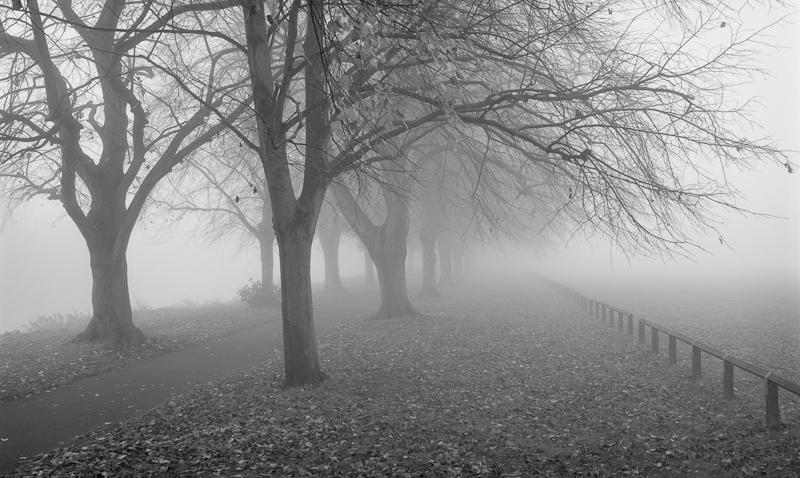 2430 - Avenue in Fog - Trees & Plants