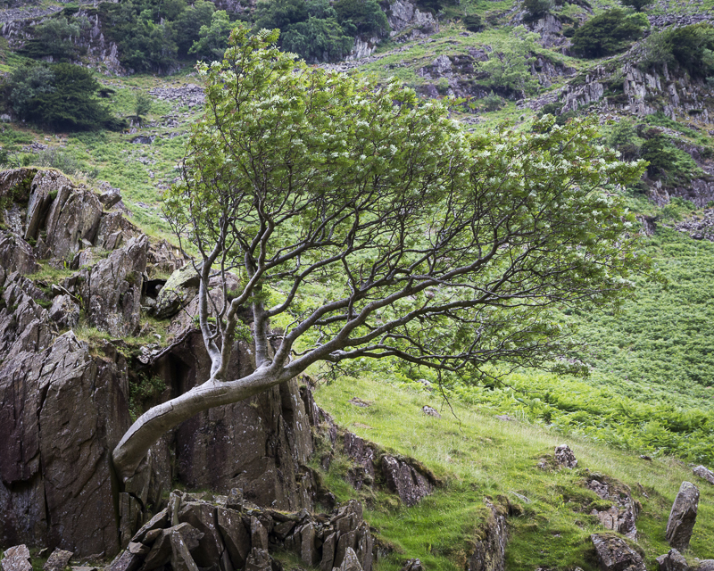 Lone Tree - English Lake District