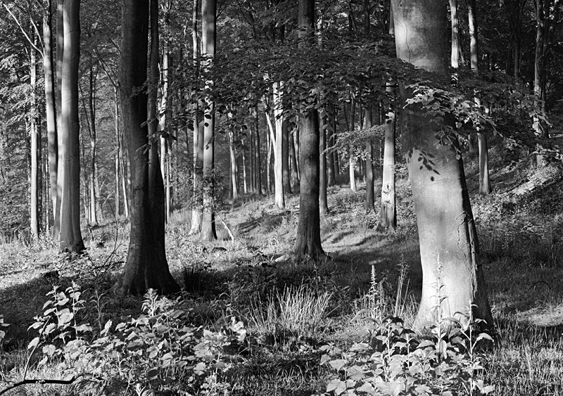0033 - Spring Beechwood - Images from England