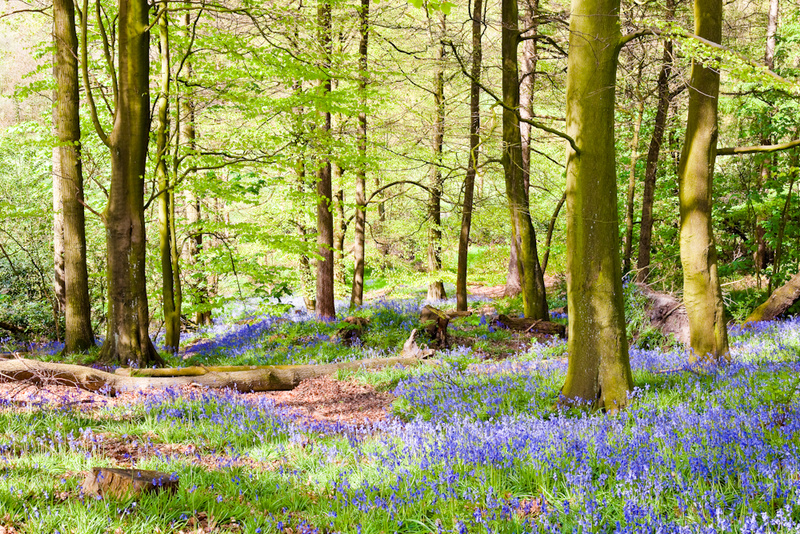 WOODLAND BLUEBELLS - Colour