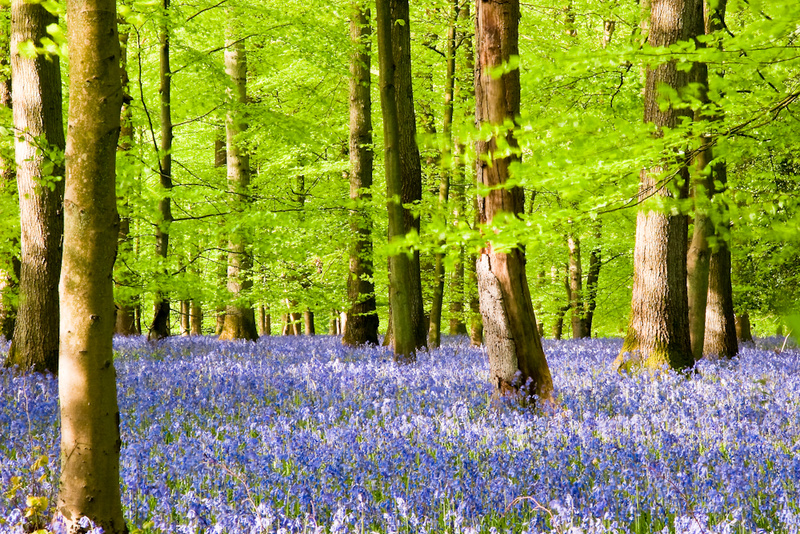 FOREST BLUEBELLS - Colour