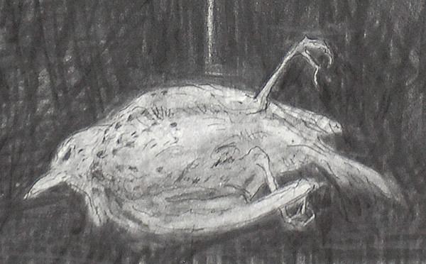 Eraser Thrush detail - Bird drawings