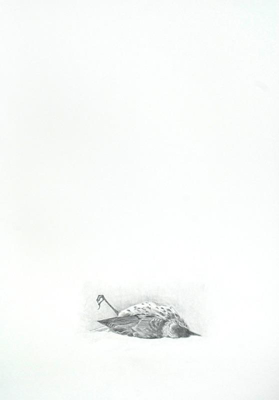 Thrush 4 - Bird drawings