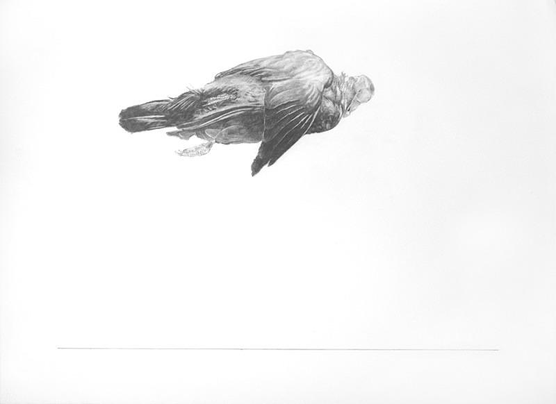 Pigeon - Bird drawings