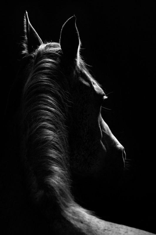 Stallion - Black-and-white