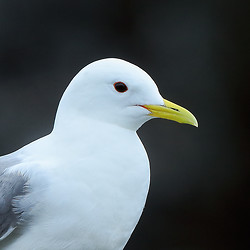 Kittiwake close-up, Farne Islands