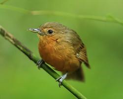 Dusky Antbird (female), Pipeline Road, Panama