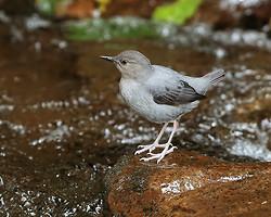 American Dipper, Costa Rica