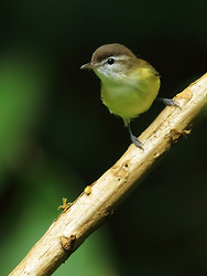 Brown-capped Vireo, Pipeline Trail, Boquete, Panama