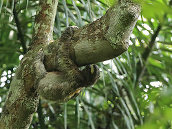 Brown-throated Three-Toed Sloth, Pipeline Road, Panama