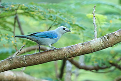 Blue-grey Tanager perched, Panama