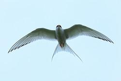 Arctic Tern flying low overhead, Farne Islands