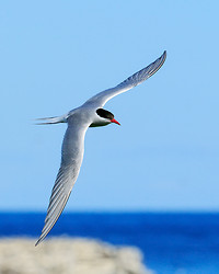 Arctic Tern banking in flight, Farne Islands