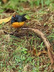 Slate-throated Redstart, Costa Rica