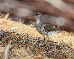 Spotted Sandpiper (breeding plumage), Panama