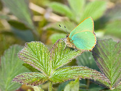 Green Hairstreak Butterfly 1293f