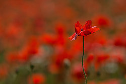 Poppies portfolio