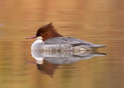 Waterfowl portfolio