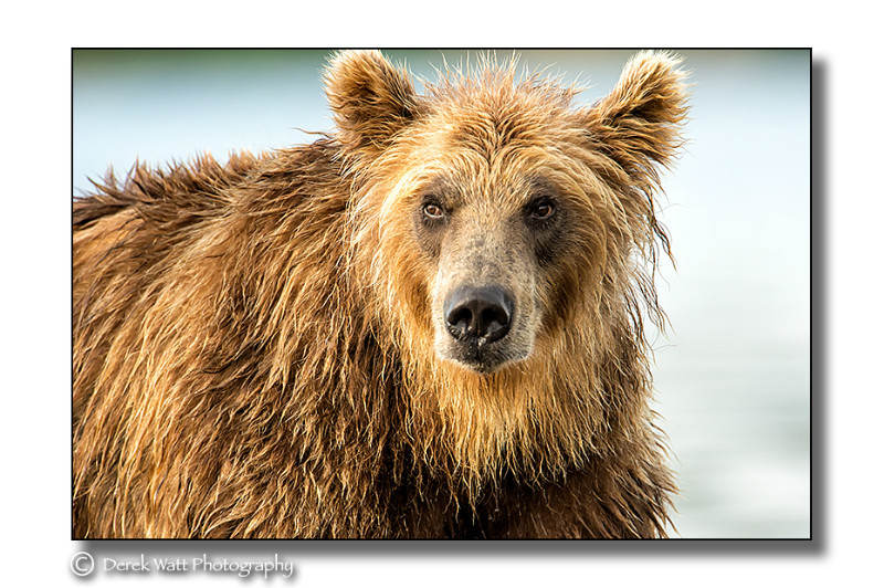 - Brown Bears portfolio - Kamchatka, Russia