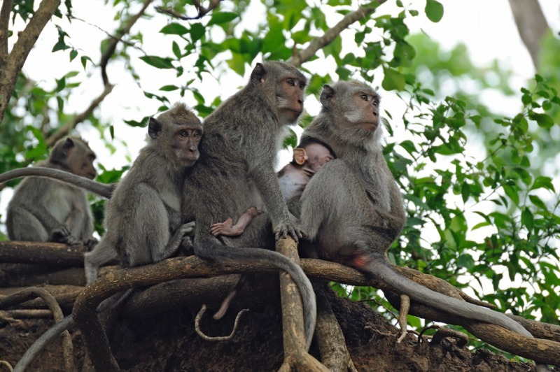 - Long tailed Macaque portfolio