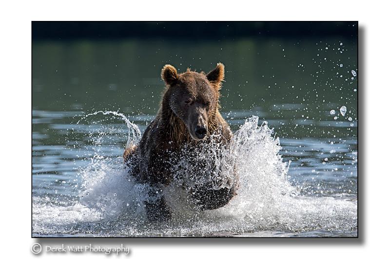 - Brown Bears portfolio - Kamchatka, Russia