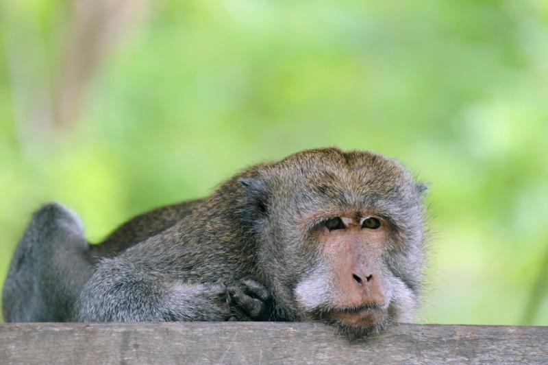 - Long tailed Macaque portfolio