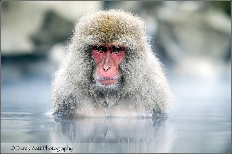 - Snow monkey/Japanese macaque portfolio - Hokkaido Japan