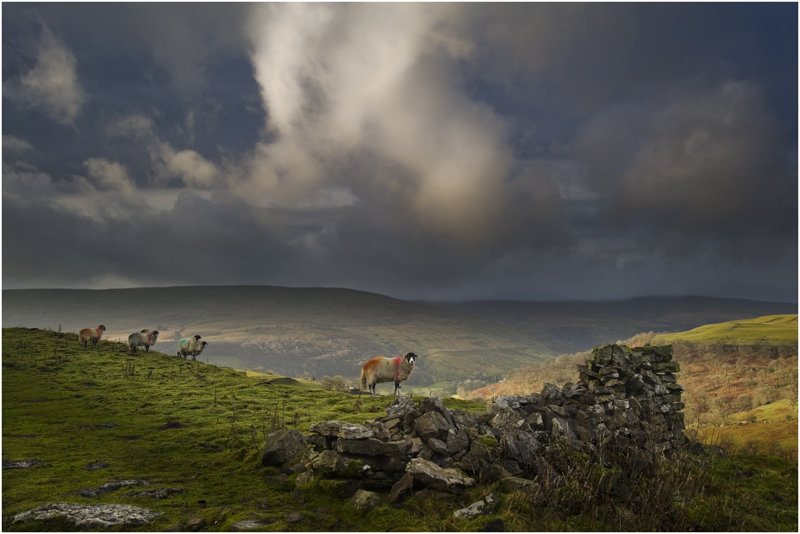 Grazing Sheep - Yorkshire Dales