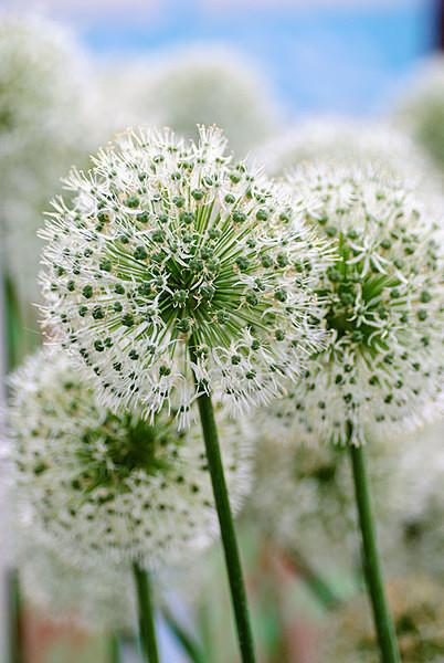 Allium - Plant Portraits