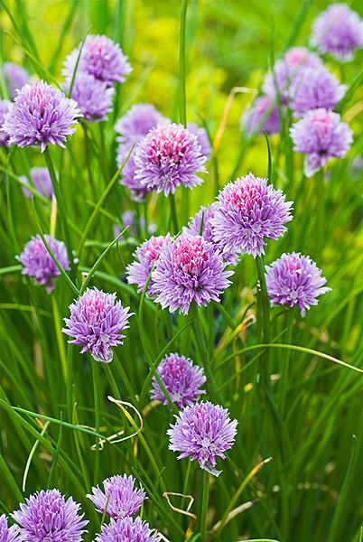 Alliums - Plant Portraits