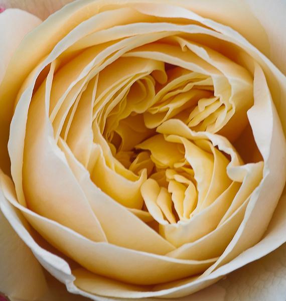 English Rose 'Charlotte' - Plant Portraits