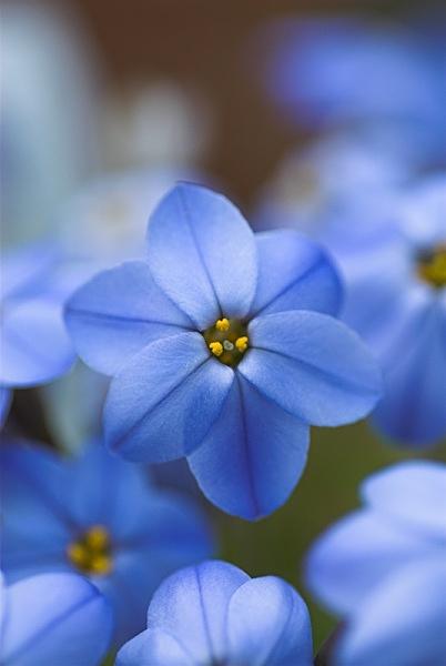 Spring Star Flower - Plant Portraits