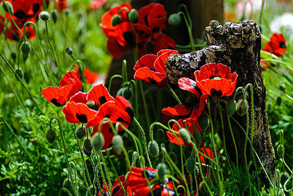 Field of Poppies - Plant Portraits