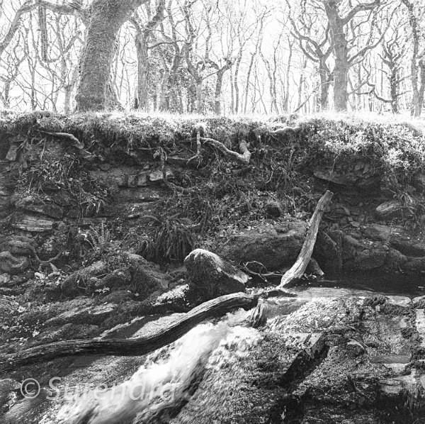 Halstock Wood Dartmoor UK - Dartmoor