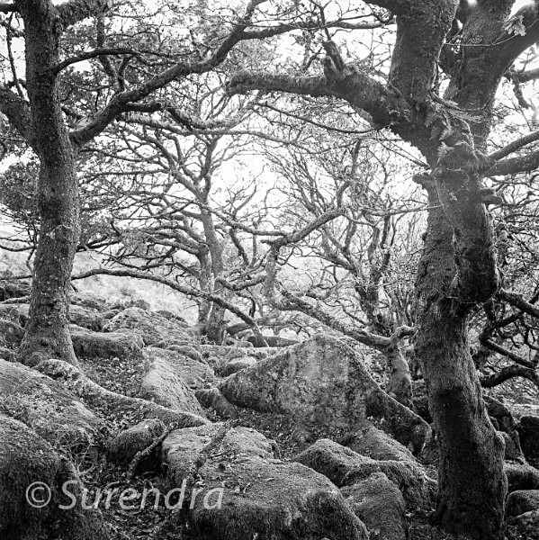 Wistmans Wood Dartmoor UK - Dartmoor