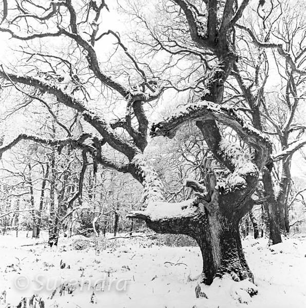 Snow Halstock Wood Dartmoor UK - Dartmoor