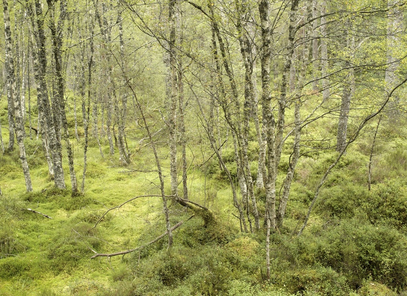 Black Wood of Rannoch - Plants and woodlands