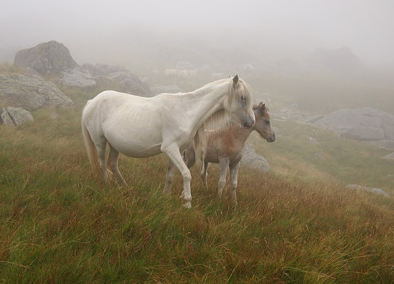 Welsh mountain ponies, Cwm Eigiau - Rural