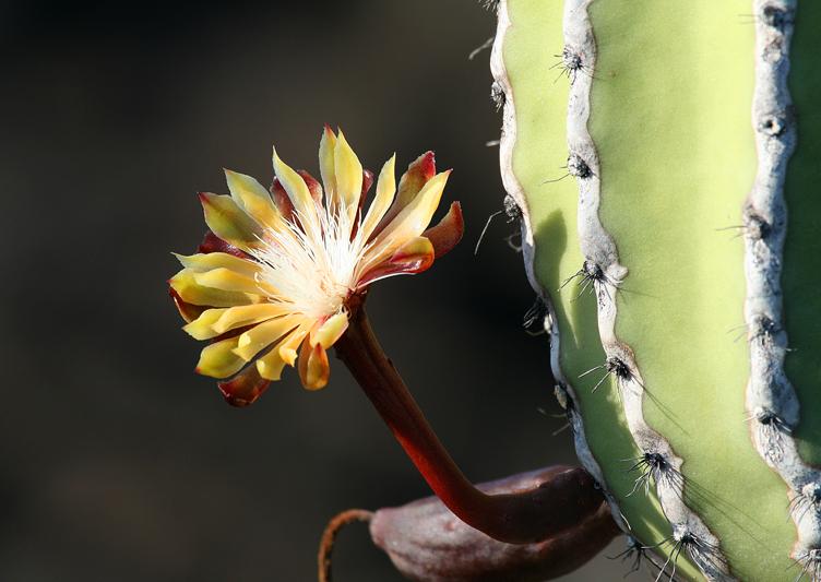 IMG_8384 Galapagos Candelabra Cactus - Rey Major Portfolio